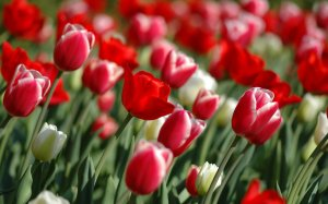Tulip-Flower-Wallpaper-4